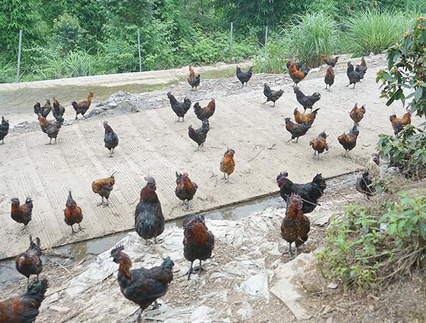 乌骨鸡养殖技术