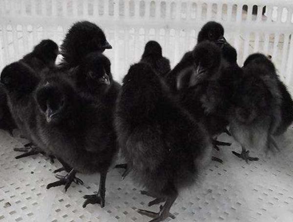 乌骨鸡鸡苗养殖厂家