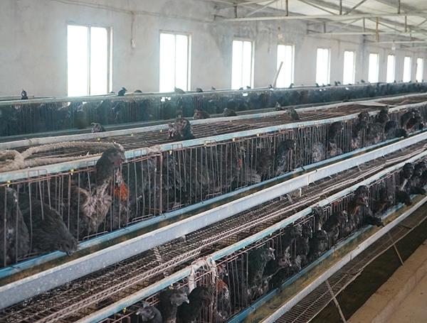 商品乌骨鸡养殖厂家