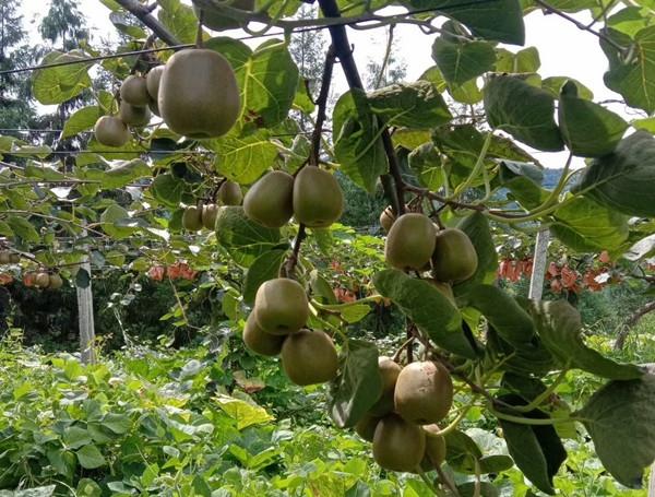 重庆猕猴桃基地