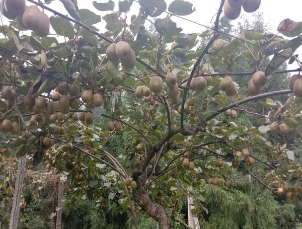 猕猴桃种植基地